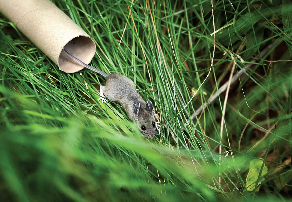 Deer Mouse release