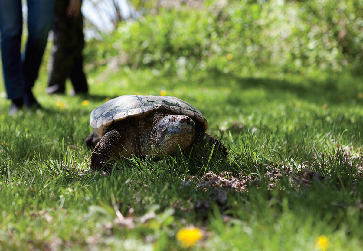 Hot Dog the Toronto Wildlife Centre's educational turtle