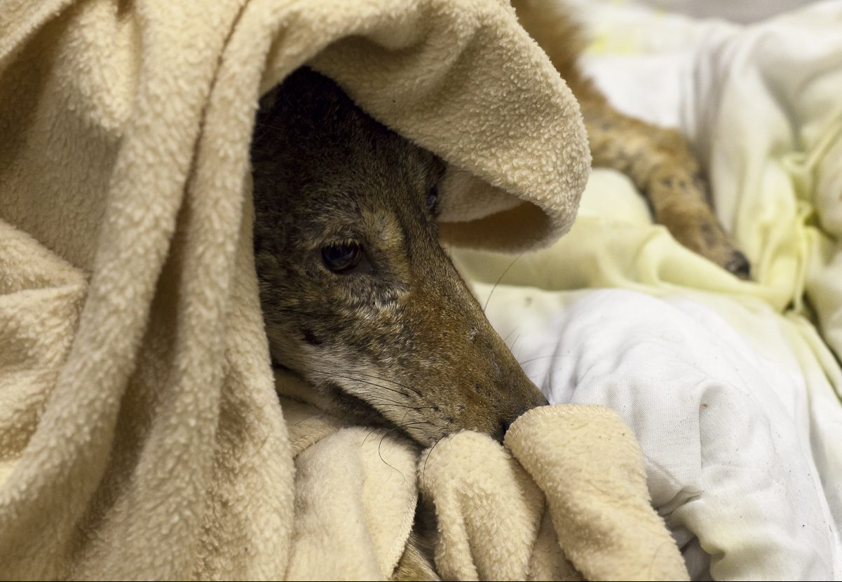 Injured Coyote in care at the Toronto Wildlife Centre