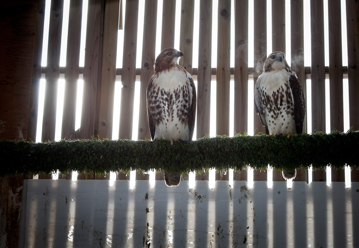 Hawks in care at the Toronto Wildlife Centre