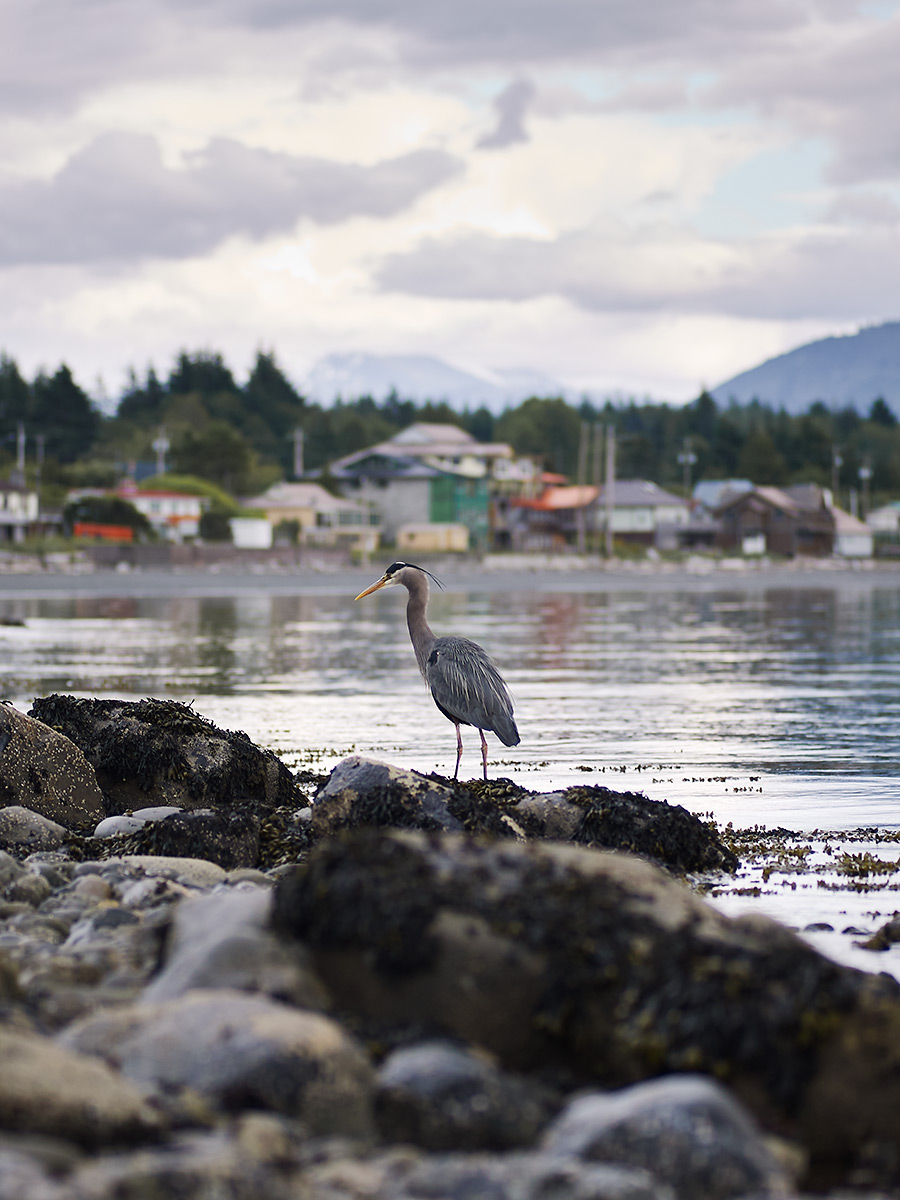 Heron hunting in Sointula, British Columbia.