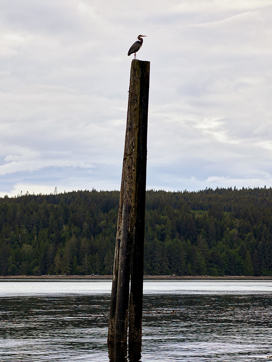 Heron on a pier, Net loft, Sointula, British Columbia.