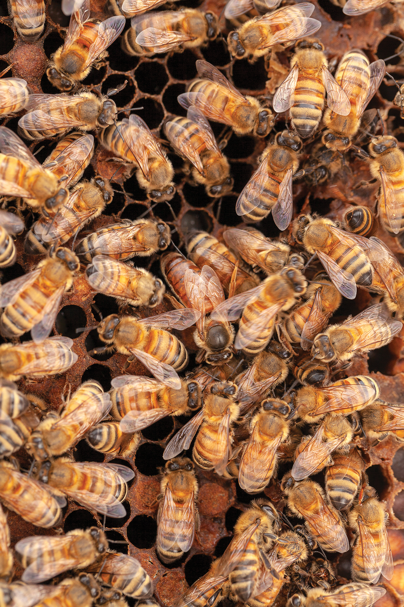 Close-up of bees and queen bee on beehive honeycomb.
