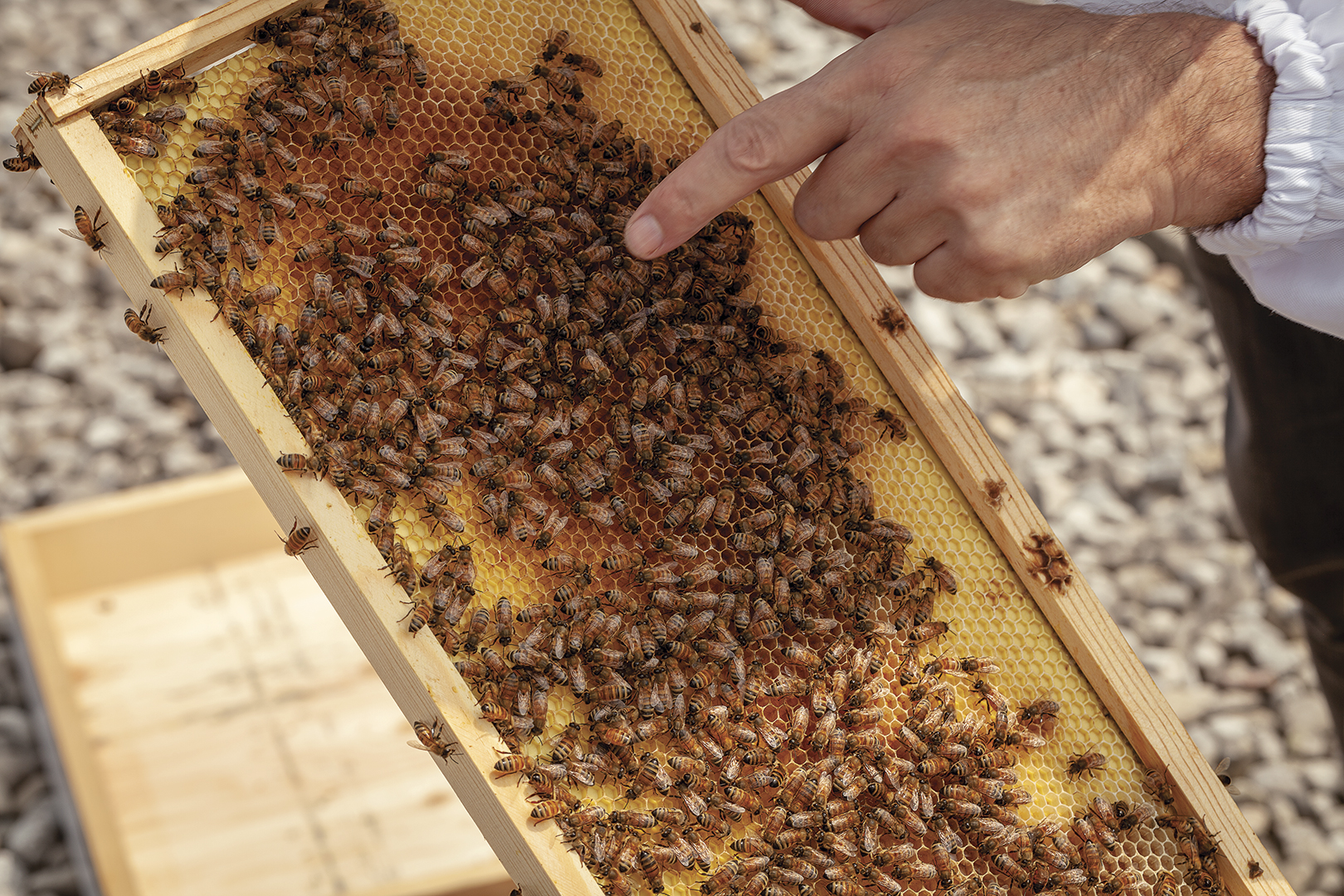 Beekeeper points at bees on beehive frame.