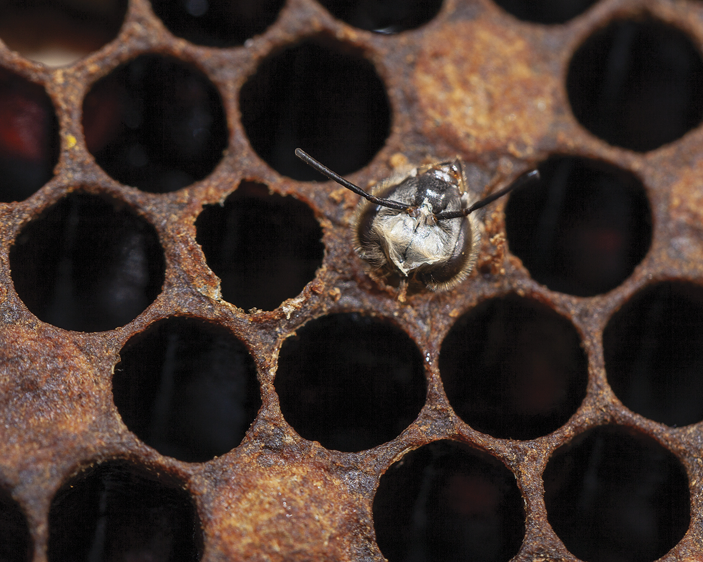 Close-up of bee hatching.
