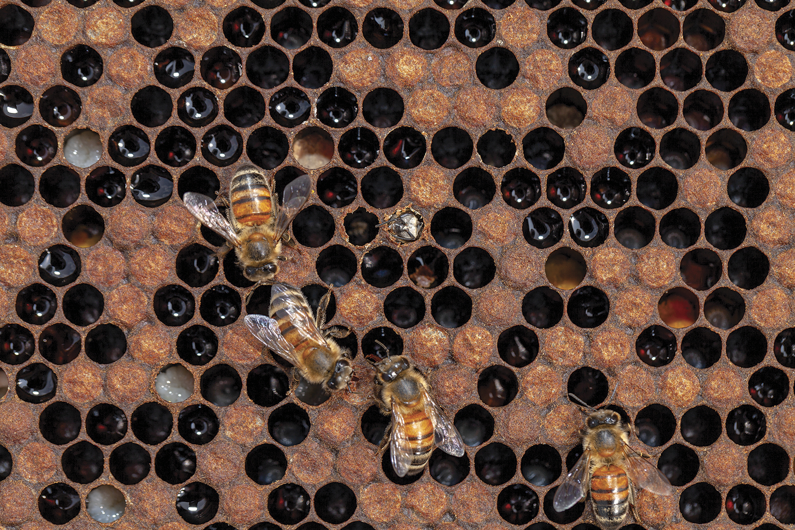 Close-up image of bees and beehive honeycomb.