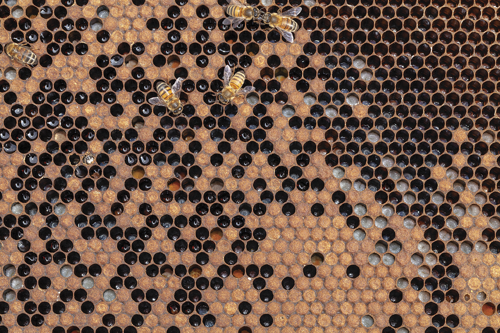 Close up of bee hive and bees