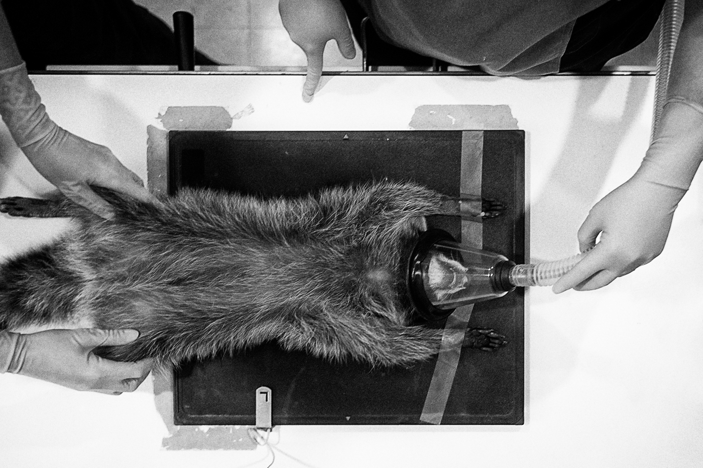 A raccoon on an x-ray stand at the Toronto Wildlife Centre