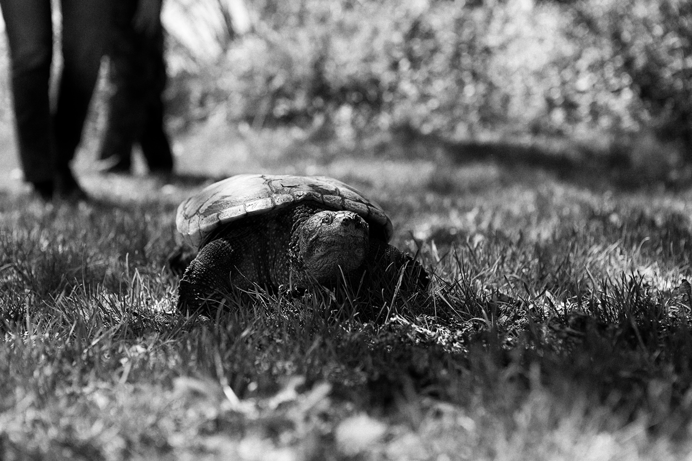 A snapping turtle in the grass.