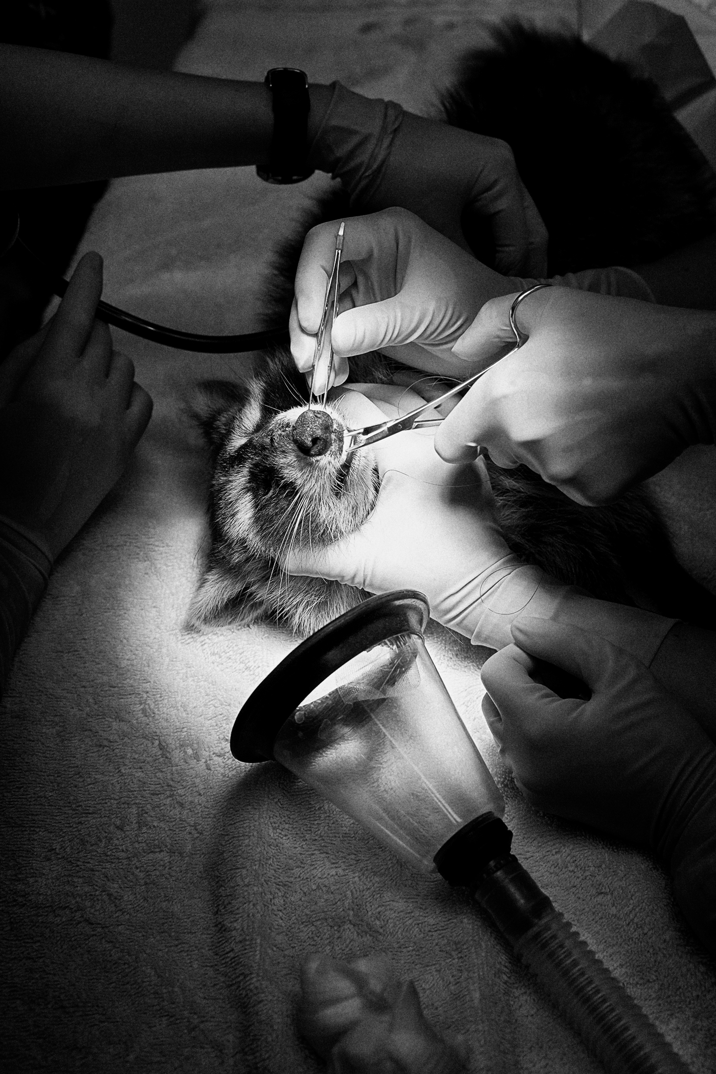 A raccoon in surgery at the Toronto Wildlife Centre