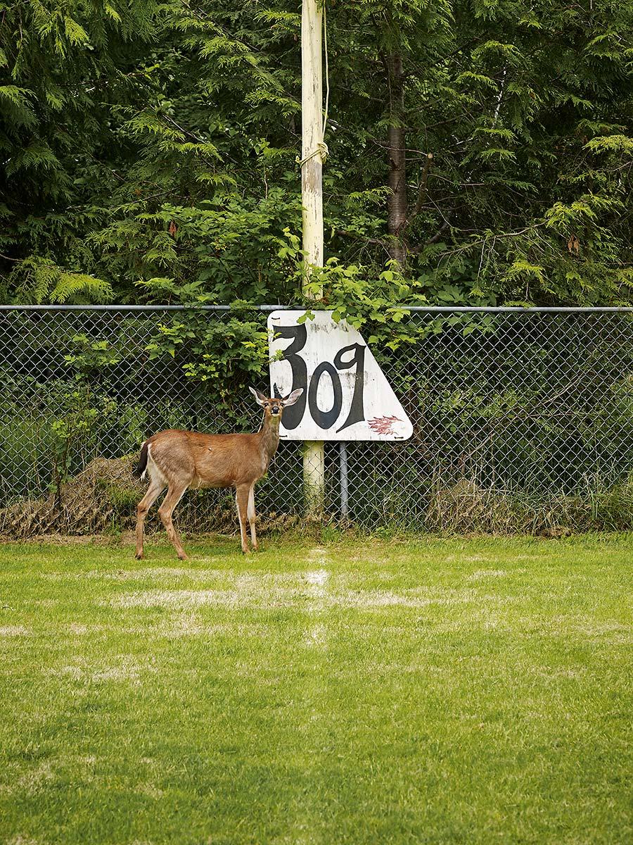 Deer on baseball field. Sointula, British Columbia.