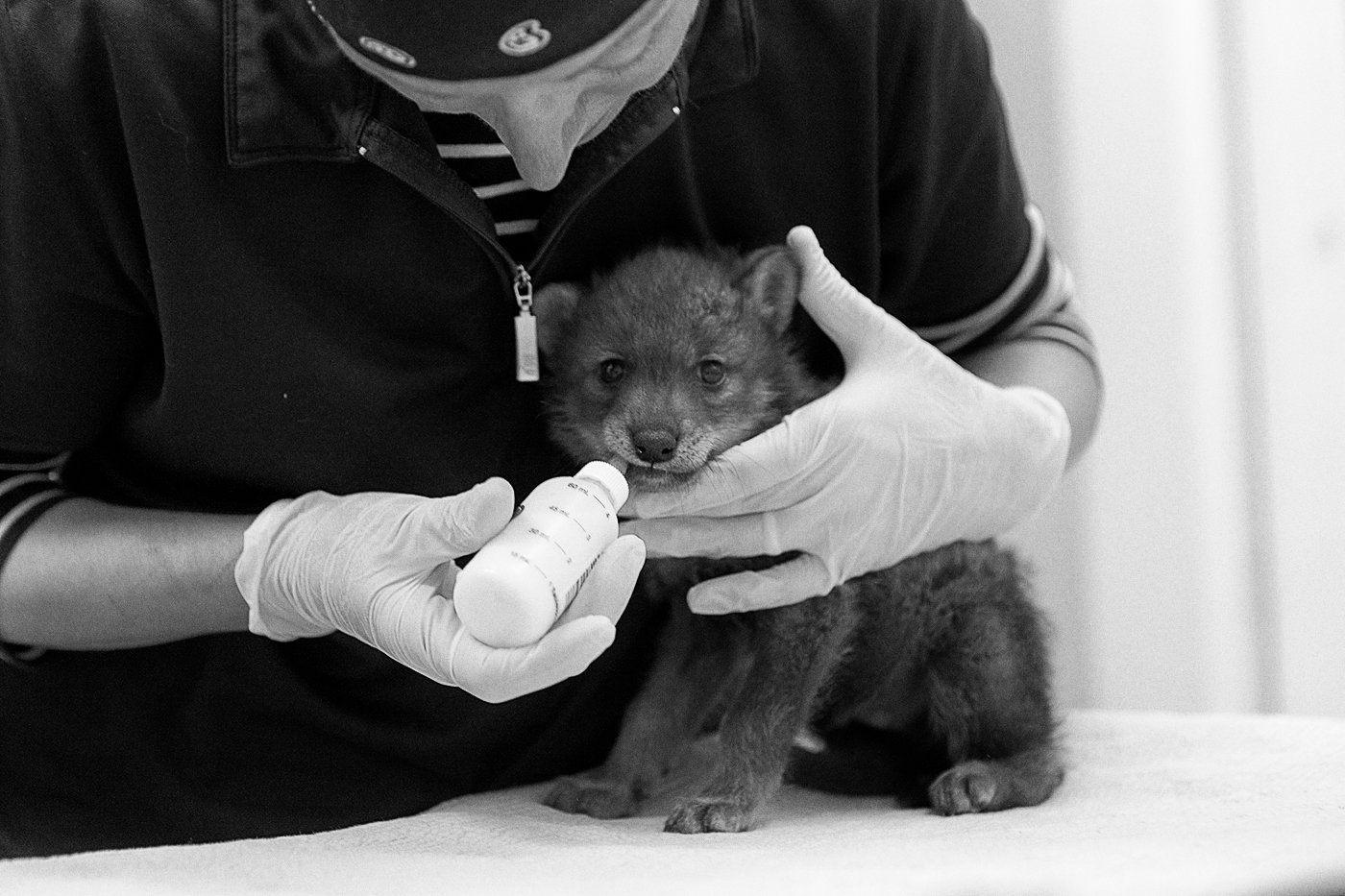 A woman feeds a coyote puppy at the Toronto Wildlife Centre