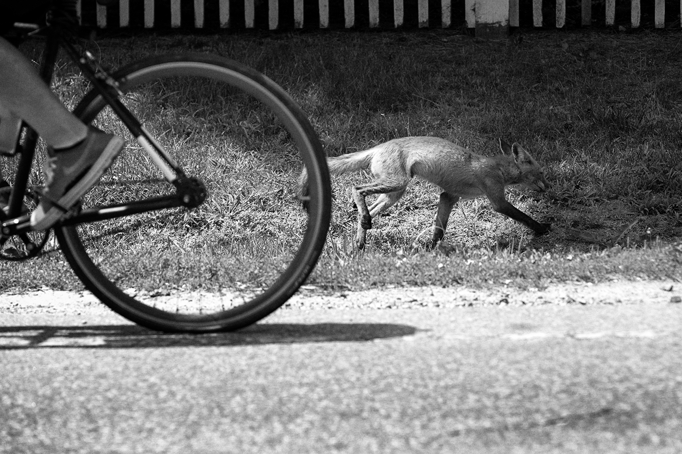 A fox runs in the opposite direction of a cyclist by the side of a road.