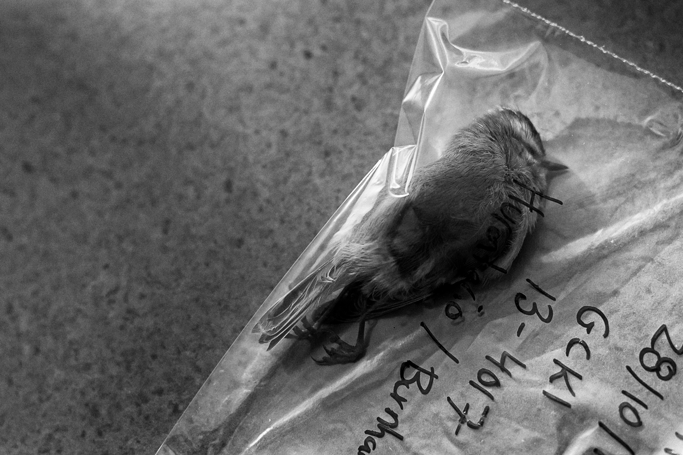A dead bird in a plastic bag on a table top