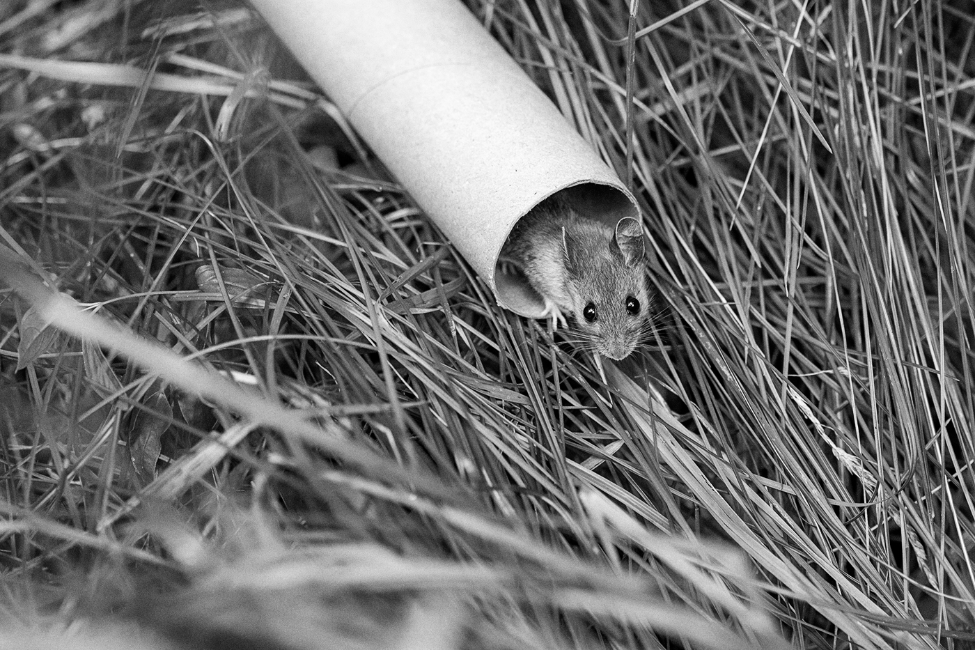 A field mouse in a cardboard tube.