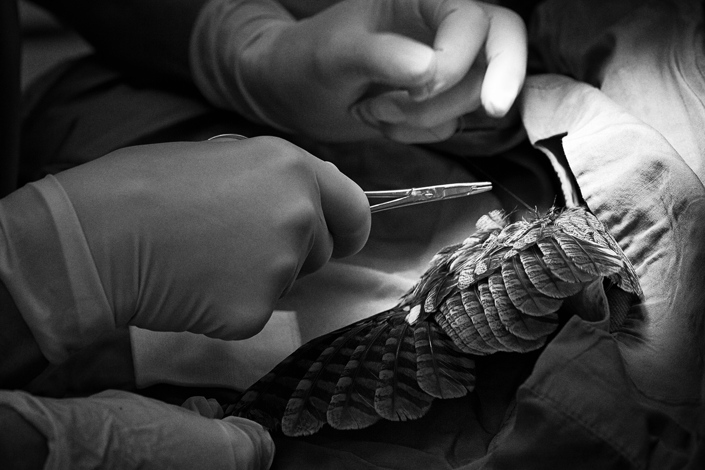Hands operating on a bird wing at the Toronto Wildlife Centre