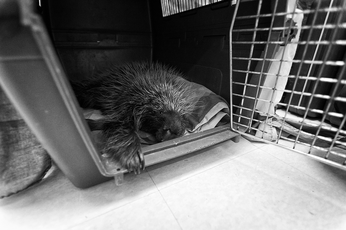 Porcupine in a crate at the Toronto Wildlife Centre